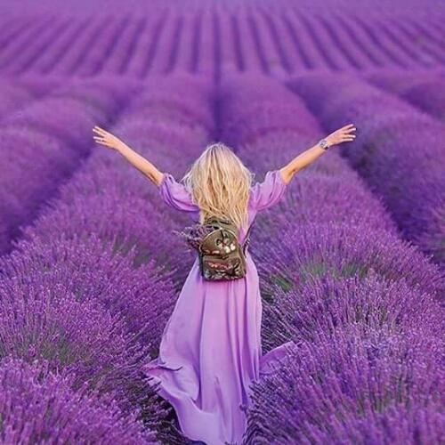 Lavender in Lavender. Provence,France.