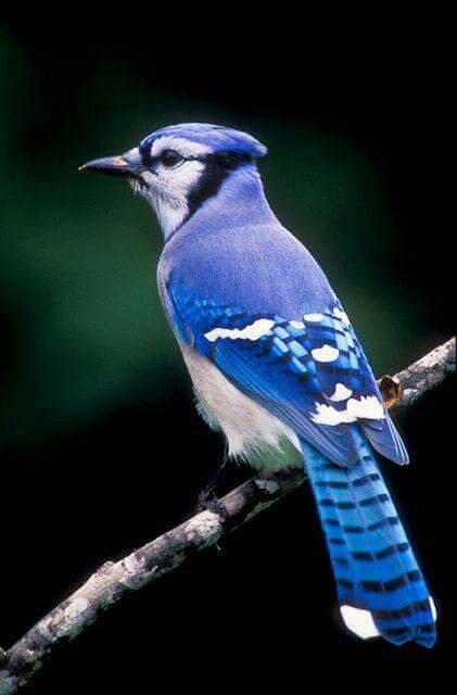 blue jay (Cyanocitta cristata)Wild Bird