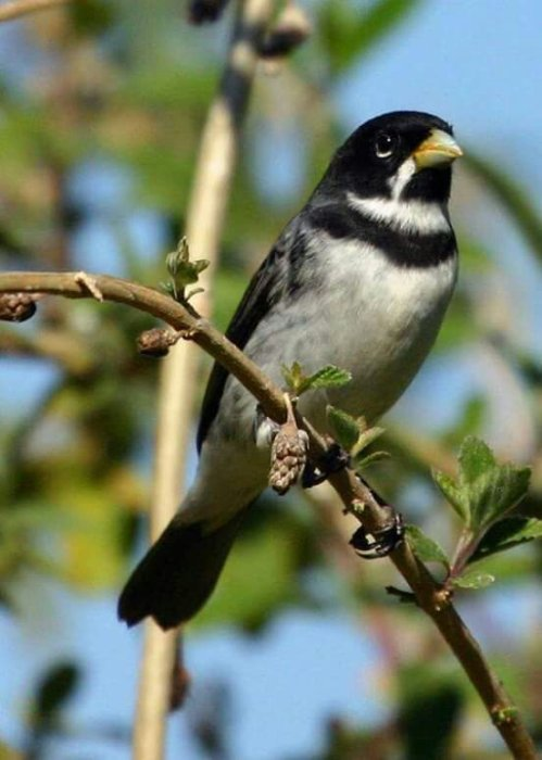 Double-collared Seedeater ( Sporophila caerulescens)Wild Bird
