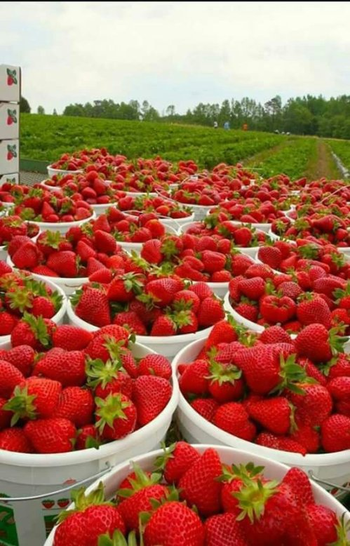 Strawberries, strawberries and more...strawberries