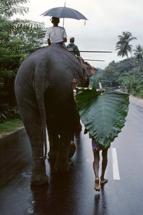 Sri Lanka. Elephants (photo by Steve McCurry)via: http://bit.ly/2zuKTZh