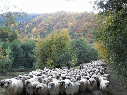 Ciobanas cu trei sute de oi, mai treci cu turma pe la noi...