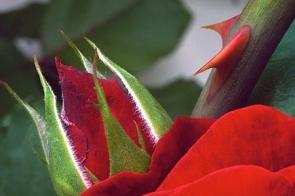 red-rose-thorn8247081632561555268.jpg