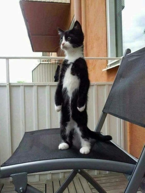 What's all this fuss about primates? I can stand on my two hind legs too, and I am just a...cat!